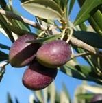 picuda_fruto